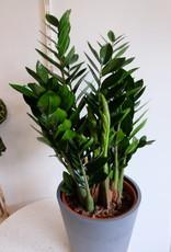 GRUUN Zamioculcas zamiifolia Ø27 h95