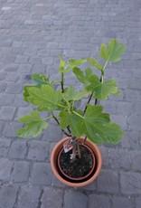 GRUUN Ficus Carica [fig tree] Ø20 h90