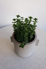 GRUUN Crassula perforata variegata ∅10 h20