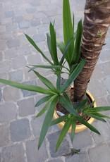 GRUUN Yucca Ø24 h90+45+20