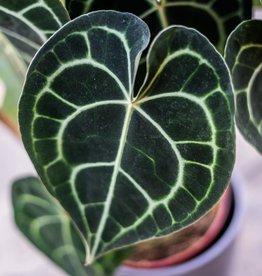 GRUUN Anthurium Clarinervium ∅15 h40