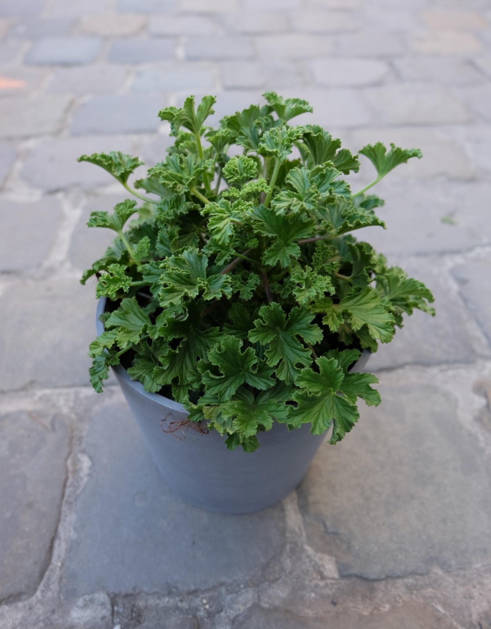 GRUUN Geranium 'Citronella' Ø15 h25