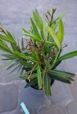 GRUUN Nerium oleander Ø13 h40