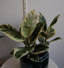 GRUUN Ficus elastica 'Tineke' Ø21 h60