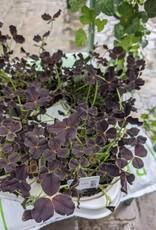 GRUUN Trifolium repens Ø10 h15