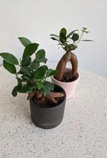 GRUUN Ficus microcarpa 'Ginseng' Ø6 h10