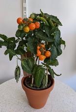 GRUUN Cherry tomato Ø15 h40 (orange)