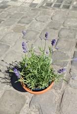 GRUUN Lavandula angustifolia 'Felice' Ø12 h30