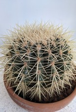 GRUUN Echinocactus grusonii (in terracotta pot) Ø16 h24