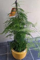 GRUUN Asparagus plumosus Ø21 h90