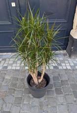 GRUUN Dracaena marginata Ø30 h150