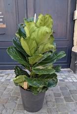 GRUUN Ficus lyrata Ø34 h130