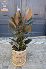 GRUUN Ficus elastica 'Abidjan' Ø30 h130