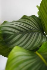 GRUUN Calathea orbifolia Ø27 h90