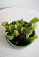 GRUUN Sarracenia purpurea ∅12 h20