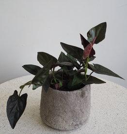 GRUUN Syngonium erythrophyllum 'Red Arrow' Ø12 h25