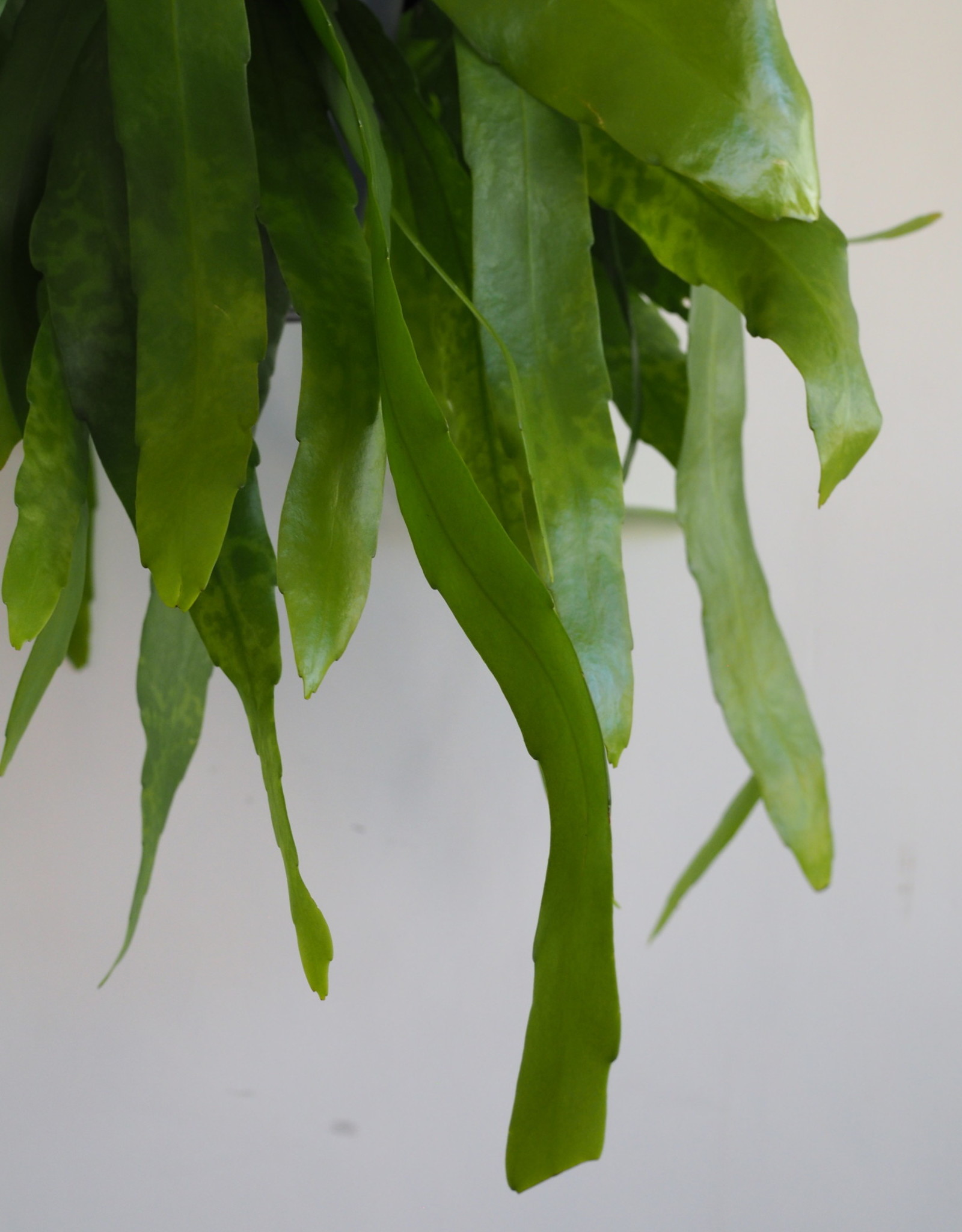 GRUUN Epiphyllum Pumilum ∅17