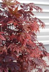 GRUUN Acer palmatum 'Bloodgood' ∅36 h120