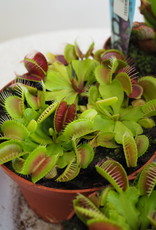 GRUUN Dionaea muscipula  Ø12 h20