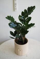 GRUUN Zamioculcas zamiifolia ∅12 h35