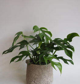 GRUUN Rhaphidophora tetrasperma ∅12 h30