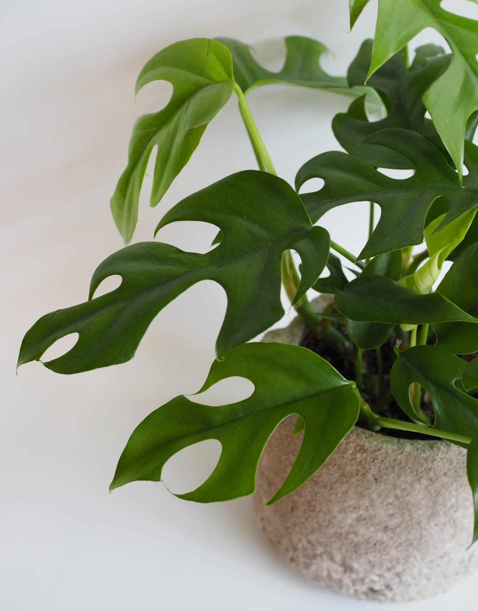 GRUUN Rhaphidophora tetrasperma Ø12 h30