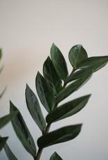 GRUUN Zamioculcas zamiifolia Ø17 h60