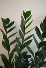 GRUUN Zamioculcas zamiifolia Ø17 h65