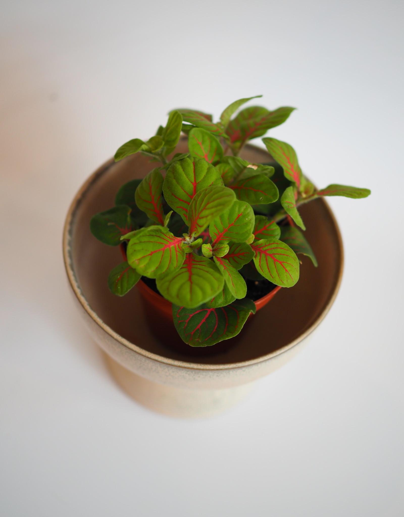 GRUUN Fittonia Specials Red Vein ∅8 h10