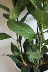 GRUUN Ficus benghalensis 'Audrey' Ø27 h90