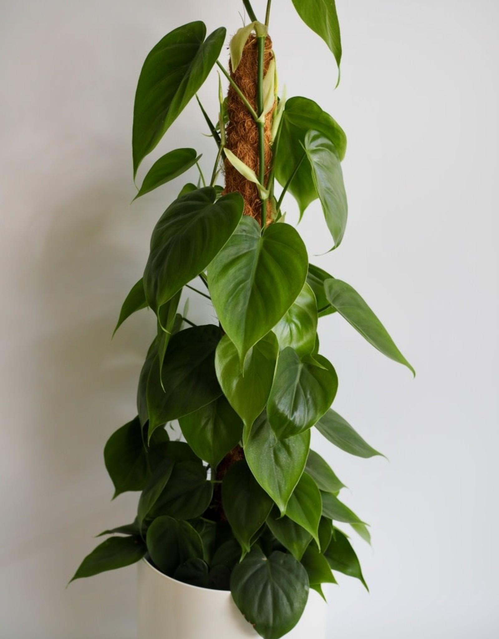GRUUN Philodendron scandens Ø19 h80cm (moss pole)