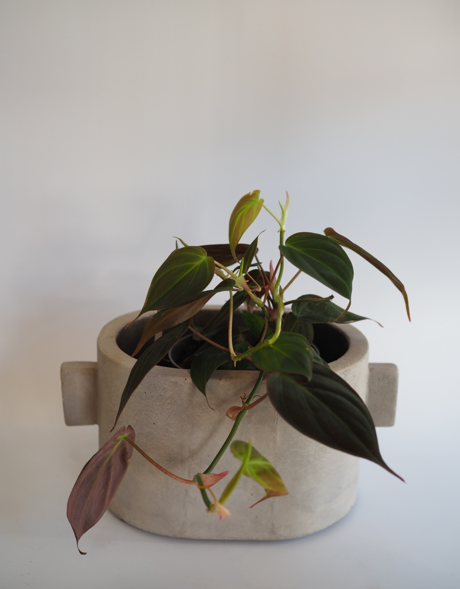 GRUUN Philodendron scandens 'Micans' ∅12 h25