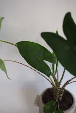GRUUN Alocasia zebrina ∅14 h50