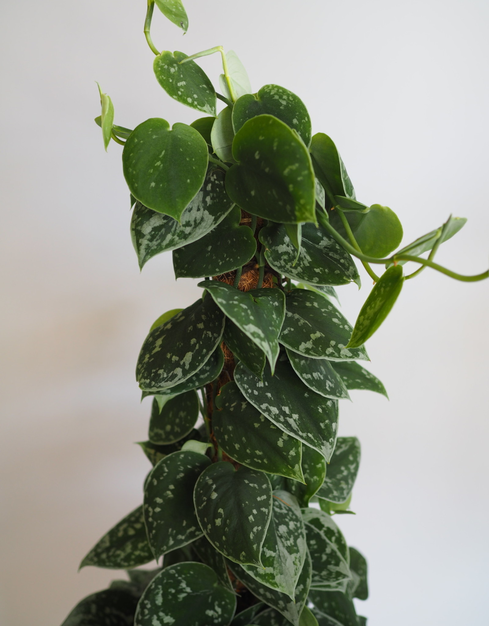 GRUUN Scindapsus pictus 'Silvery Ann' Ø17 h60 (moss pole)