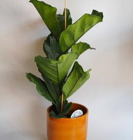 GRUUN Ficus lyrata Ø17 h60