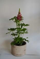 GRUUN Lupinus (Red) ∅17 h45