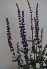 GRUUN Salvia nemorosa 'Sofia' Ø19 h60