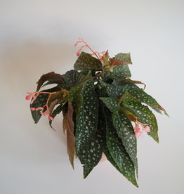 GRUUN Begonia cane 'Hotspot' Ø12 h20