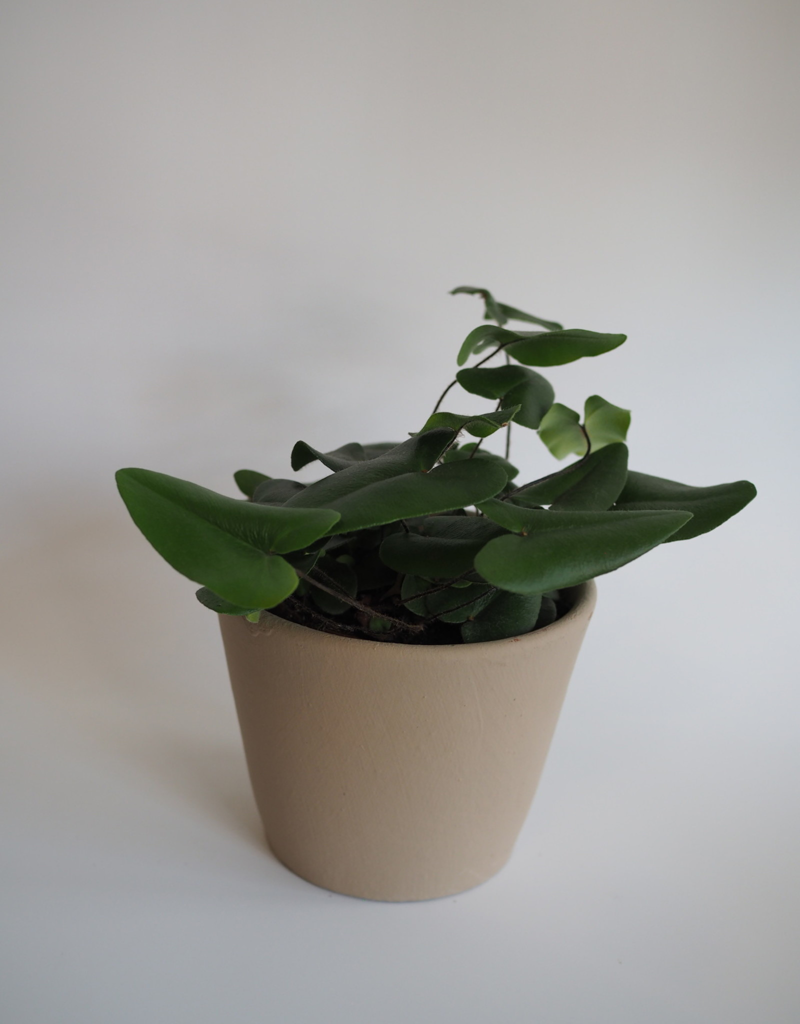 GRUUN Hemionitis arifolia Ø12 h30