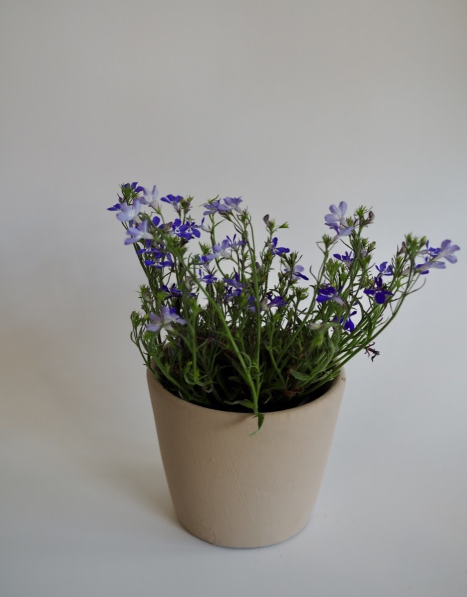 GRUUN Lobelia (Dark Blue) Ø10 h12