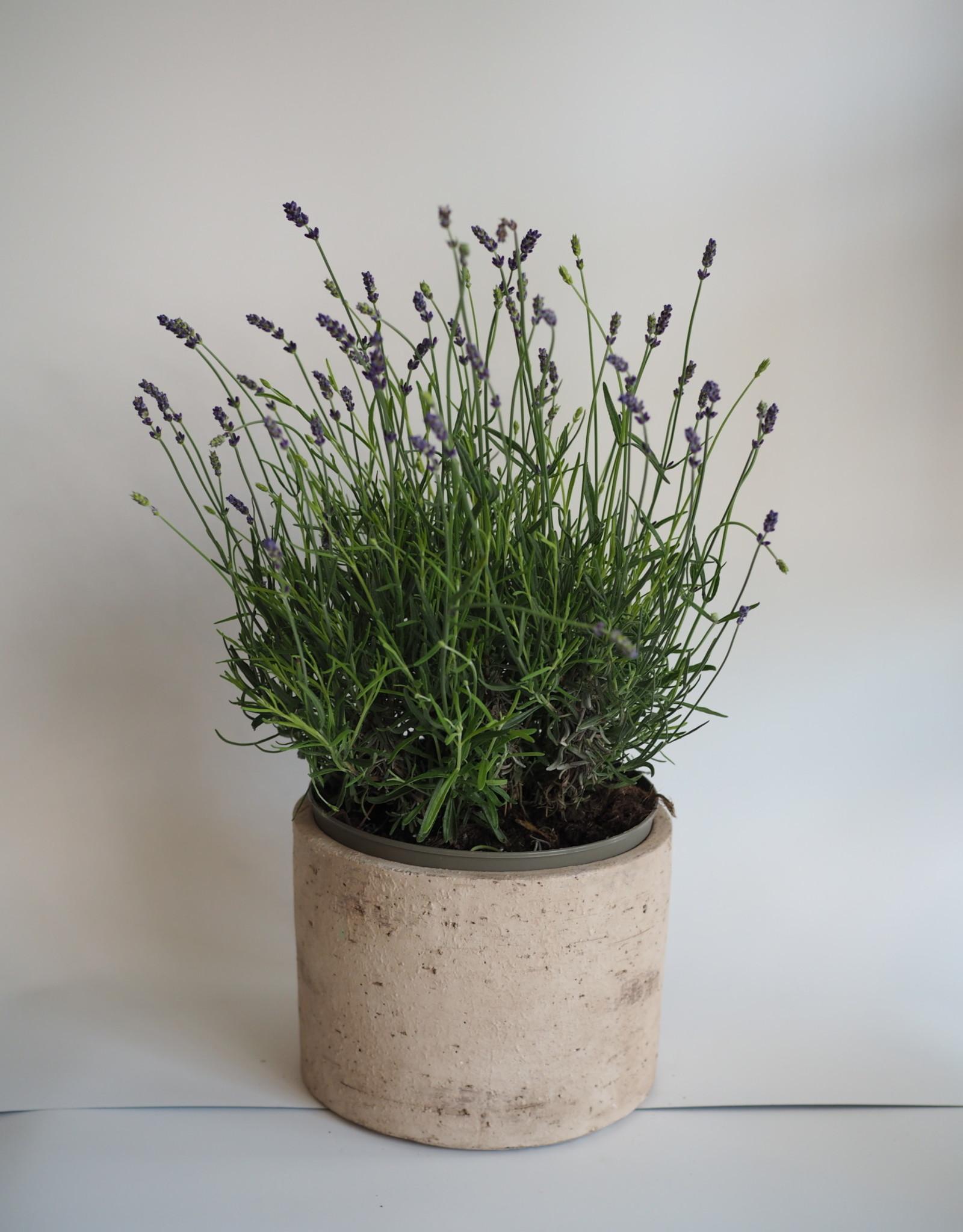 GRUUN Lavandula angustifolia 'Hidcote' Ø21 h35