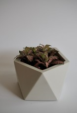 GRUUN Fittonia verschaffeltii 'Pink' ∅8 h10