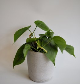 GRUUN Philodendron scandens ∅12 h15