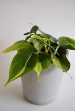 GRUUN Philodendron scandens 'Brasil' Ø12 h15