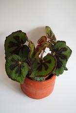 GRUUN Begonia blad Masoniana Ø15 h30