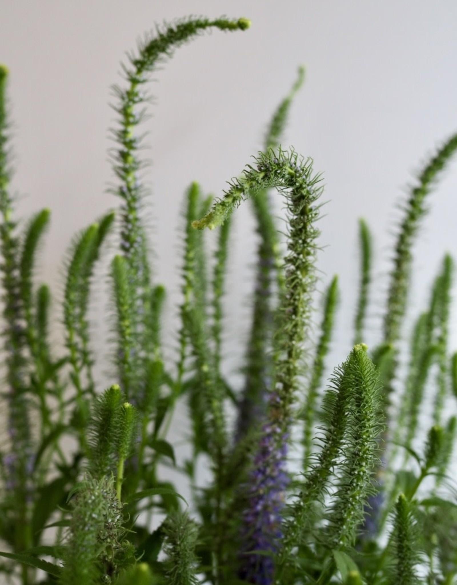 GRUUN Veronica spicata dwarf Blue ∅19 h35