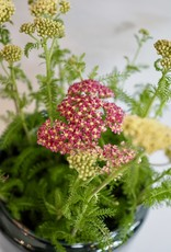 GRUUN Achillea Millefolium ∅17 h35