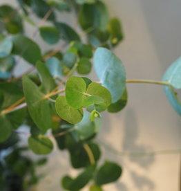 GRUUN Eucalyptus cinerea ∅23 h65