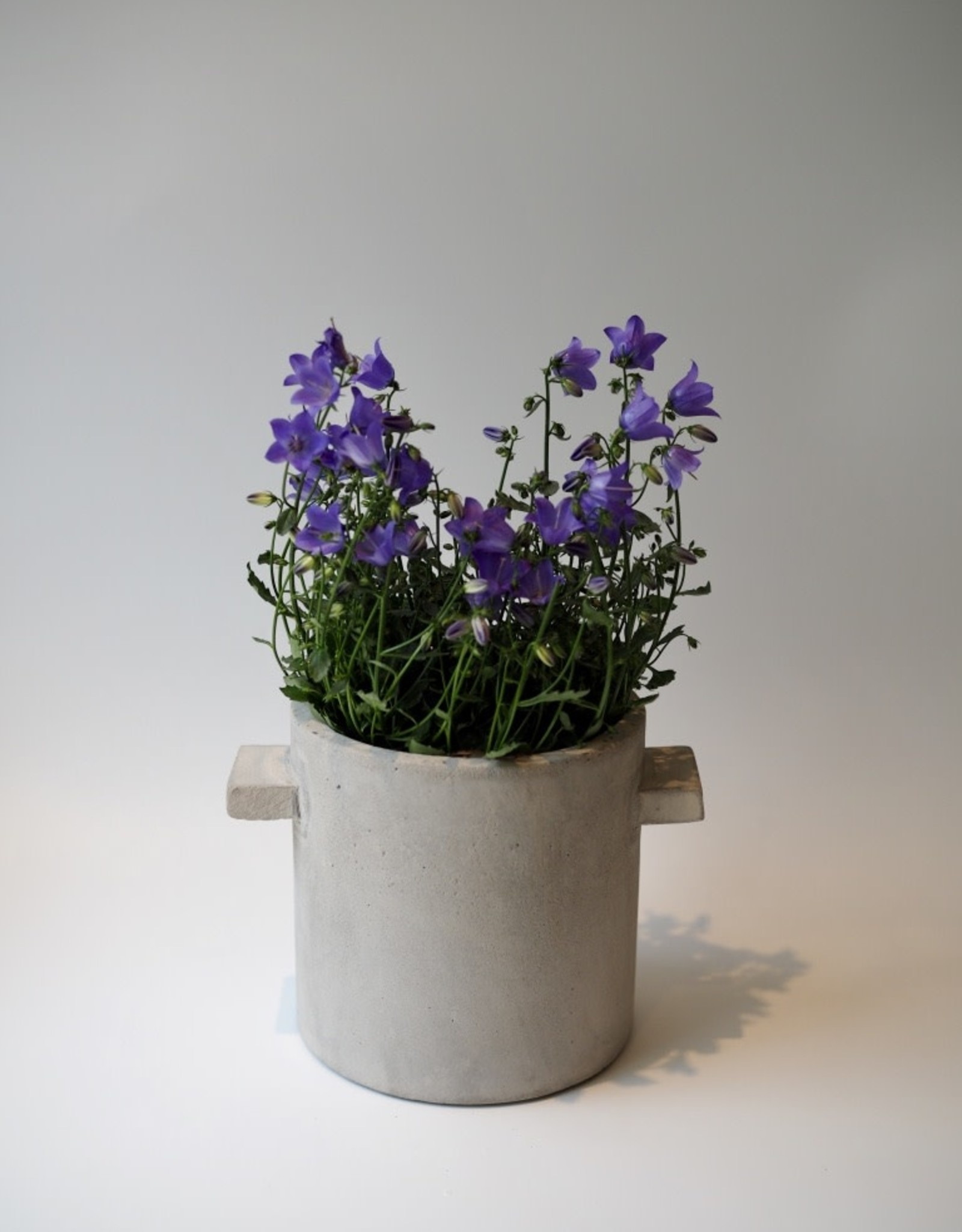 GRUUN Campanula 'Spring Bell Blue' Ø11 h20