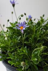 GRUUN Felicia amelloides 'Felicitara Blue' Ø23 h40